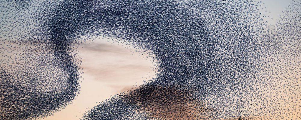 Le mystère des magnifiques vols d'étourneaux
